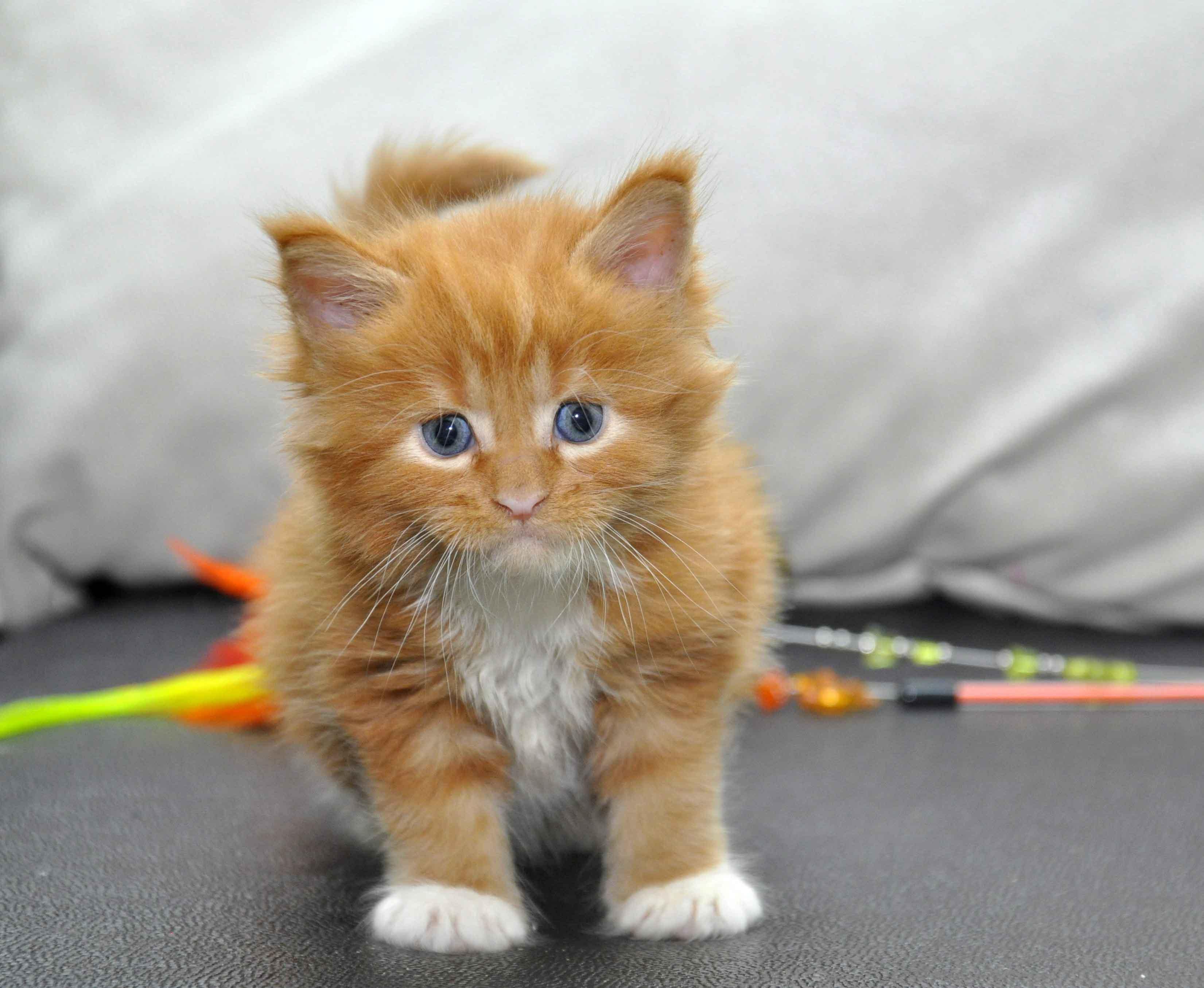 Котята Мейн Кун окрас красный мрамор с белым фото 2