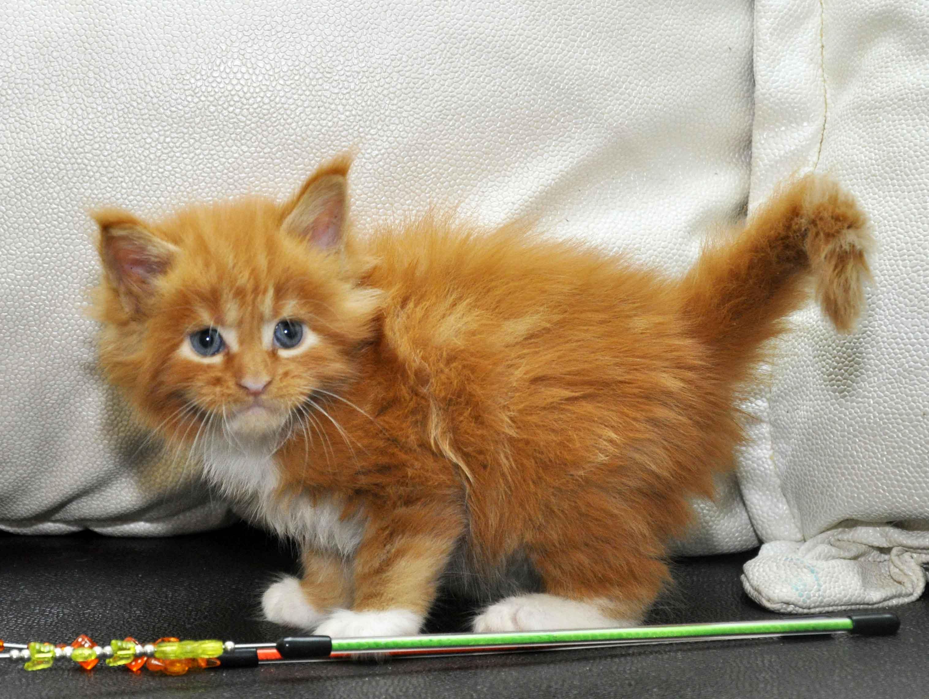 Котята Мейн Кун окрас красный мрамор с белым фото 11