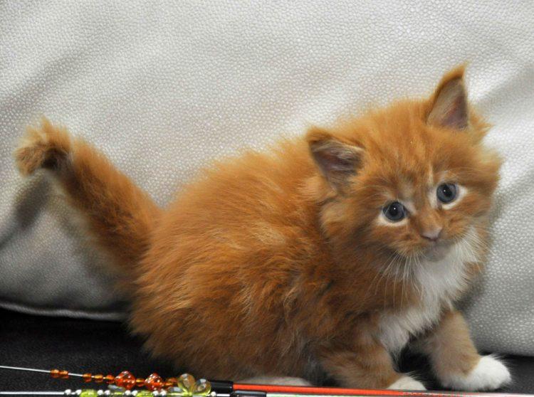 Котята Мейн Кун окрас красный мрамор с белым фото 12