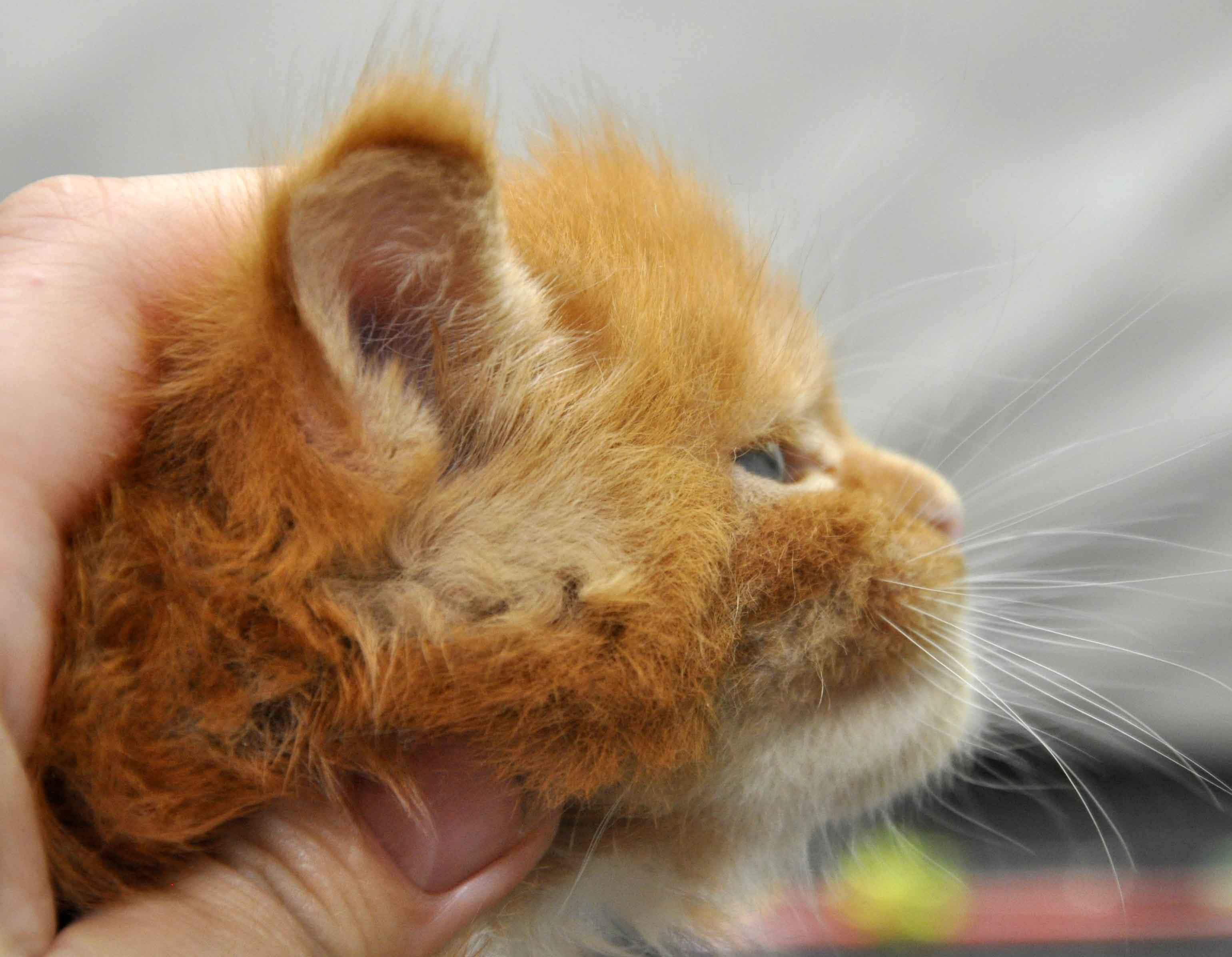 Котята Мейн Кун окрас красный мрамор с белым фото 5