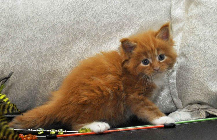 Котята Мейн Кун окрас красный мрамор с белым фото 6