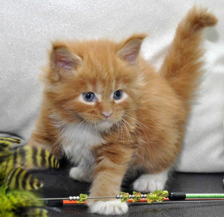 Котята Мейн Кун окрас красный мрамор с белым фото 7