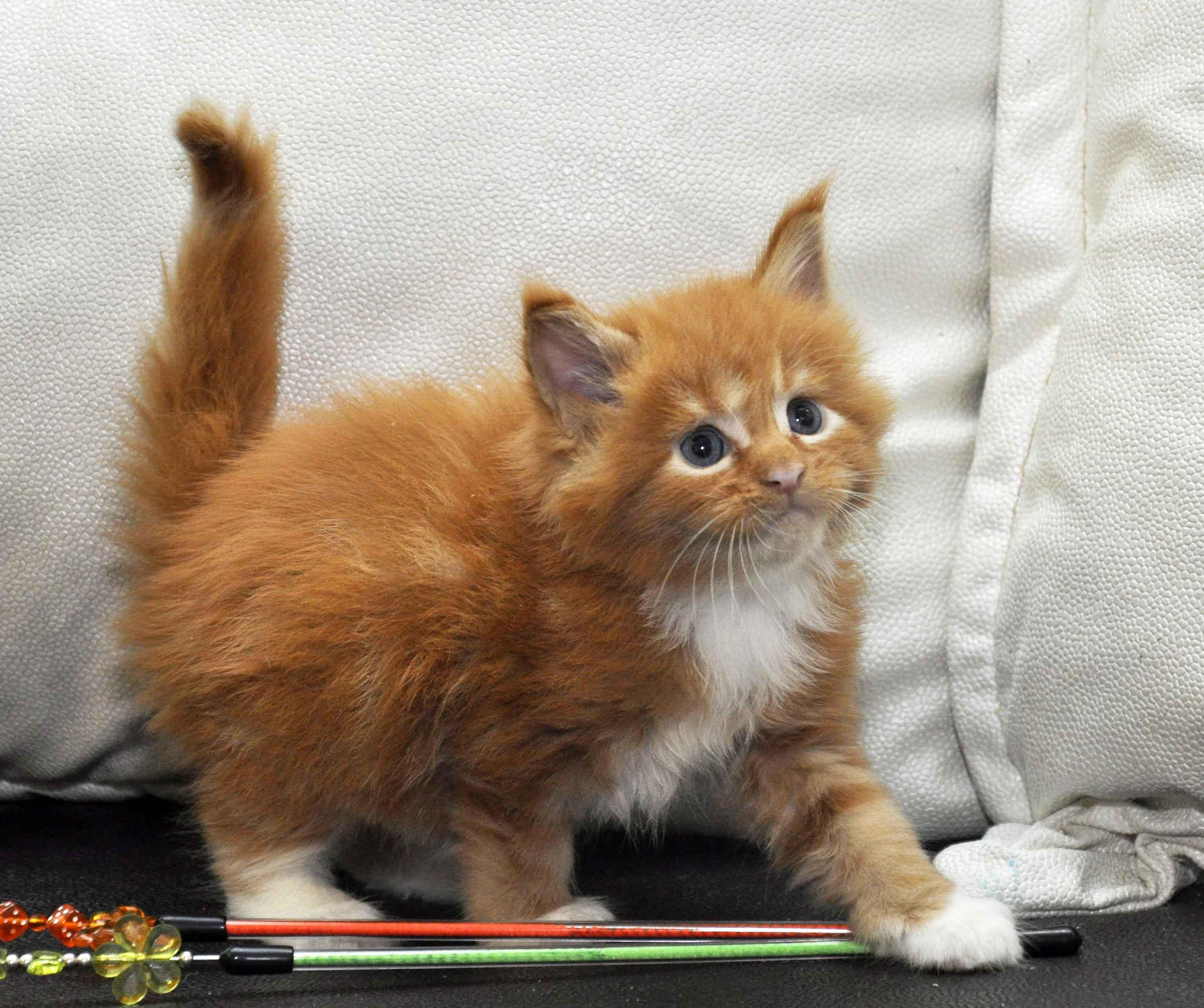 Котята Мейн Кун окрас красный мрамор с белым фото 8