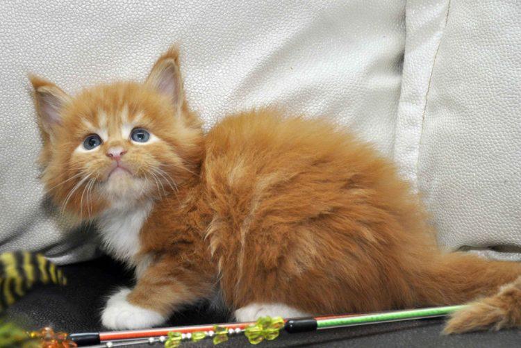 Котята Мейн Кун окрас красный мрамор с белым фото 9