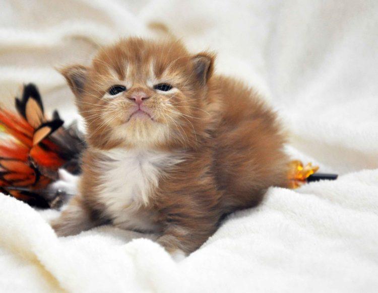Eyktan-кот-Мейн-Кун-1-помёт-M-Дата-рождения-15.06.2017-г.-фото-2.jpg