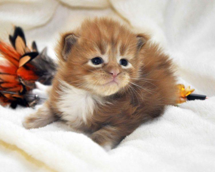 Eyktan-кот-Мейн-Кун-1-помёт-M-Дата-рождения-15.06.2017-г.-фото-3.jpg
