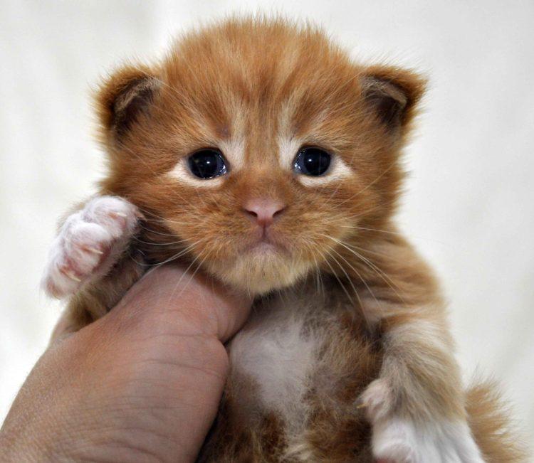 Eyktan-кот-Мейн-Кун-2-помёт-M.-Дата-рождения-15.06.2017-г.-фото 5.jpg