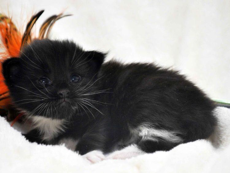 Eyktan-кот-Мейн-Кун-3-помёт-M.-Дата-рождения-15.06.2017-г.фото-3.jpg