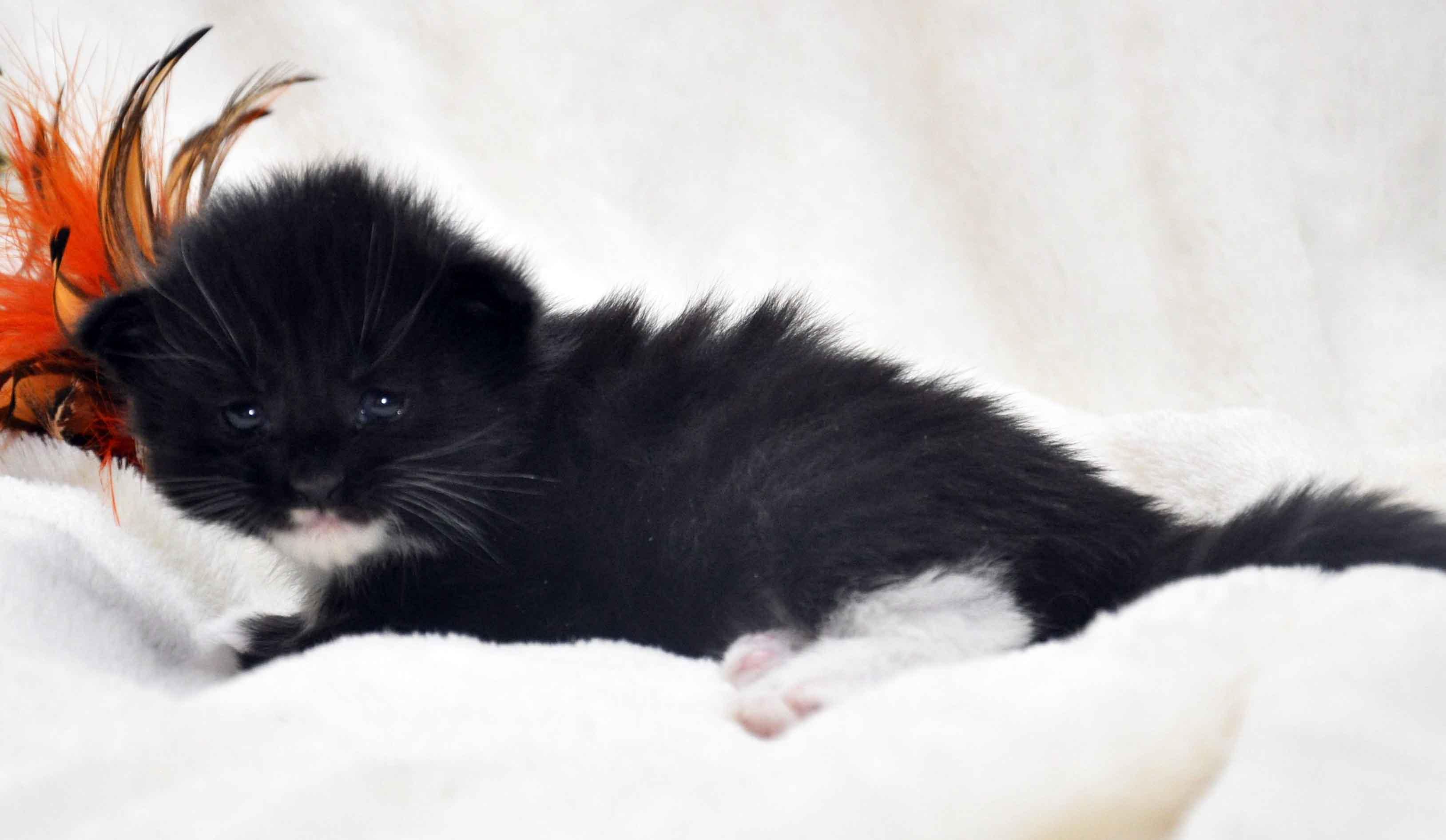 Eyktan-кошка-Мейн-Кун-1-помёт-M.-Дата-рождения-15.06.2017-г.-фото-1.jpg