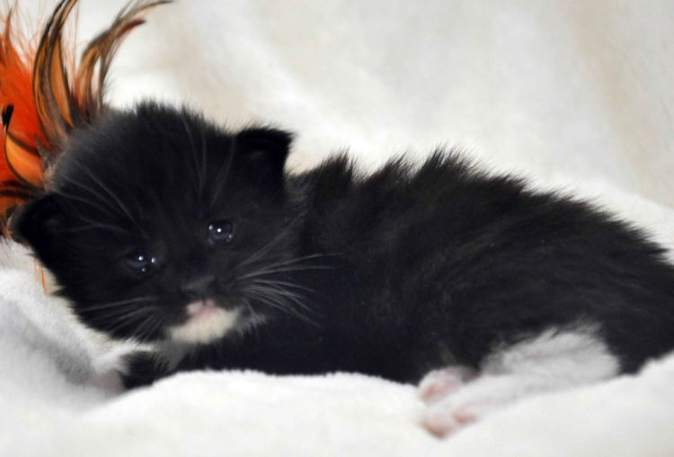 Eyktan-кошка-Мейн-Кун-1-помёт-M.-Дата-рождения-15.06.2017-г.-фото-3.jpg