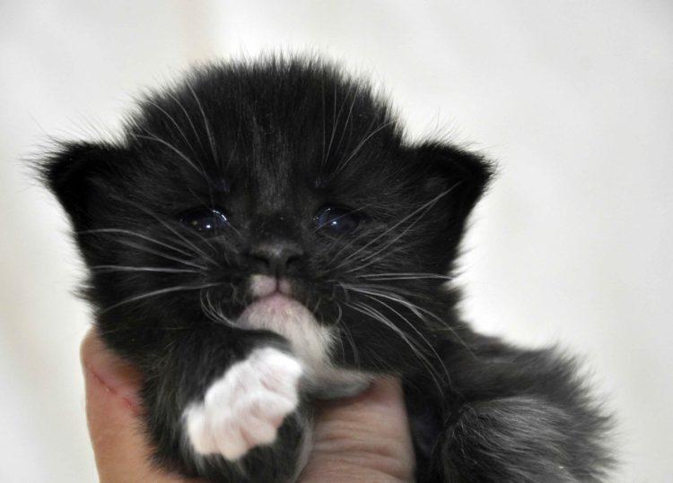 Eyktan-кошка-Мейн-Кун-1-помёт-M.-Дата-рождения-15.06.2017-г.-фото-4.jpg