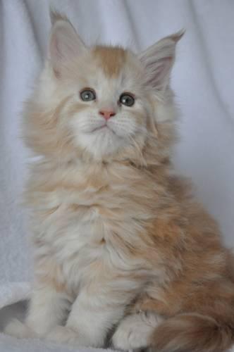 Кошка мейн-кун Summerplace CHAMPANGER*DE питомник EYKTAN фото 2