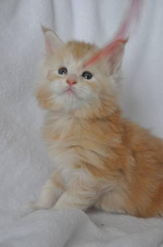Кошка мейн-кун Summerplace CHAMPANGER*DE питомник EYKTAN фото 3
