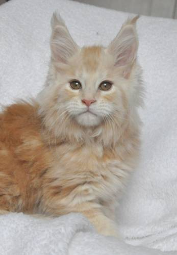 Кошка мейн-кун Summerplace CHAMPANGER*DE питомник EYKTAN фото 4