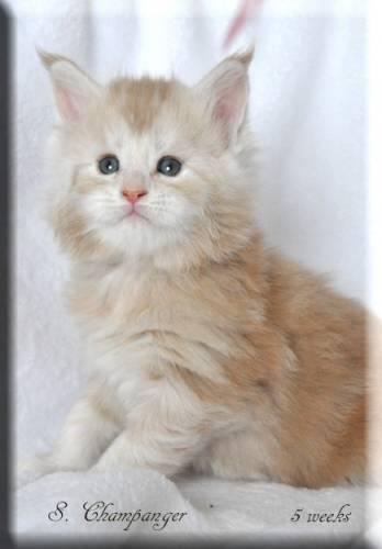Кошка мейн-кун Summerplace CHAMPANGER*DE питомник EYKTAN фото 6