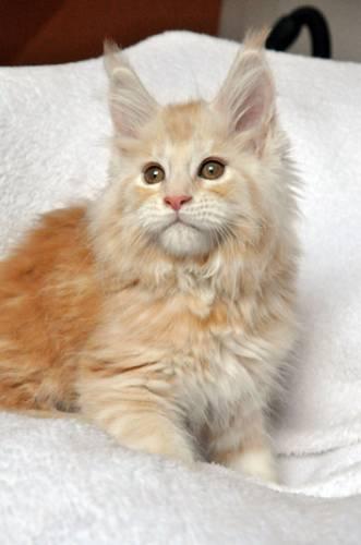 Кошка мейн-кун Summerplace CHAMPANGER*DE питомник EYKTAN фото 10