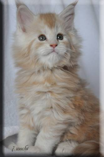 Кошка мейн-кун Summerplace CHAMPANGER*DE питомник EYKTAN фото 11
