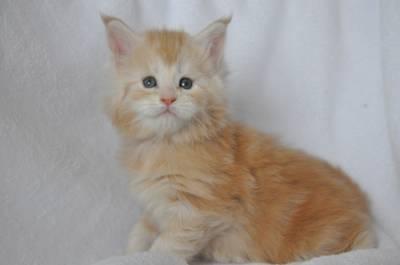 Кошка мейн-кун Summerplace CHAMPANGER*DE питомник EYKTAN фото 12