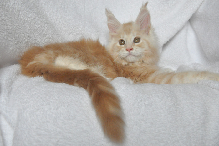 Кошка мейн-кун Summerplace CHAMPANGER*DE питомник EYKTAN фото 14