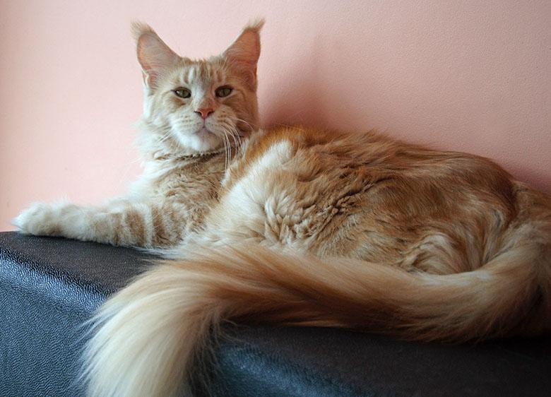 Кошка мейн-кун Summerplace CHAMPANGER*DE питомник EYKTAN фото