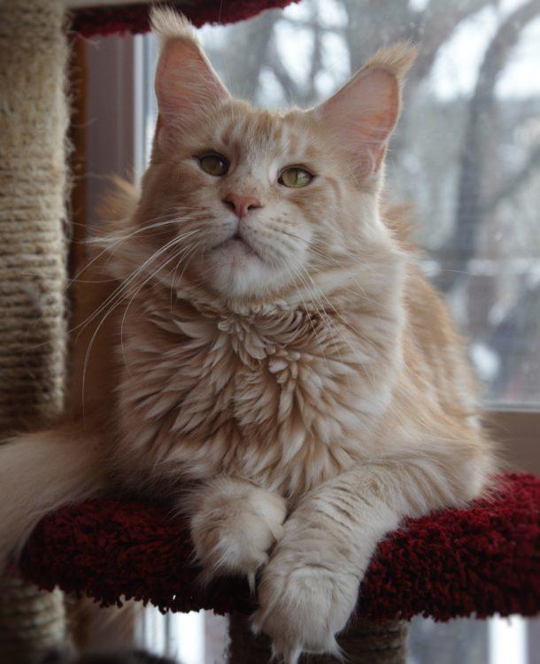 Кошка мейн-кун Summerplace CHAMPANGER*DE питомник EYKTAN фото 1