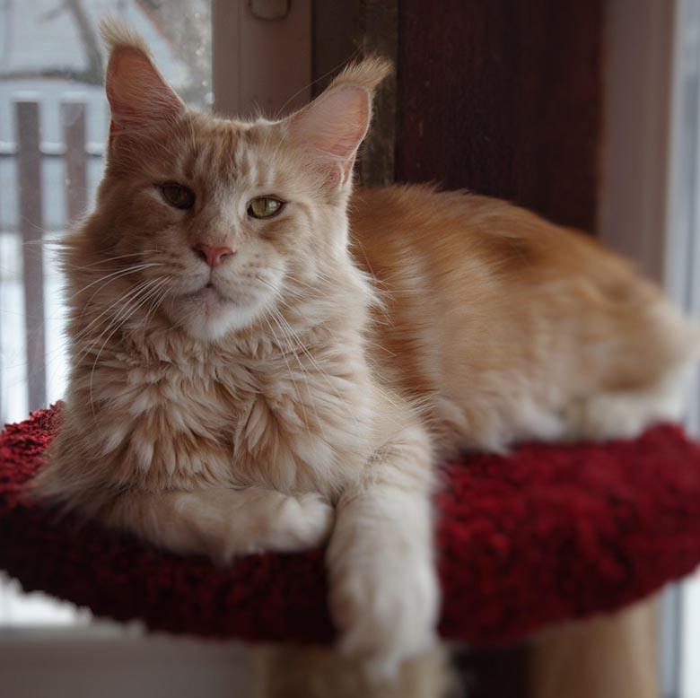 Кошка мейн-кун Summerplace CHAMPANGER*DE питомник EYKTAN фото 15