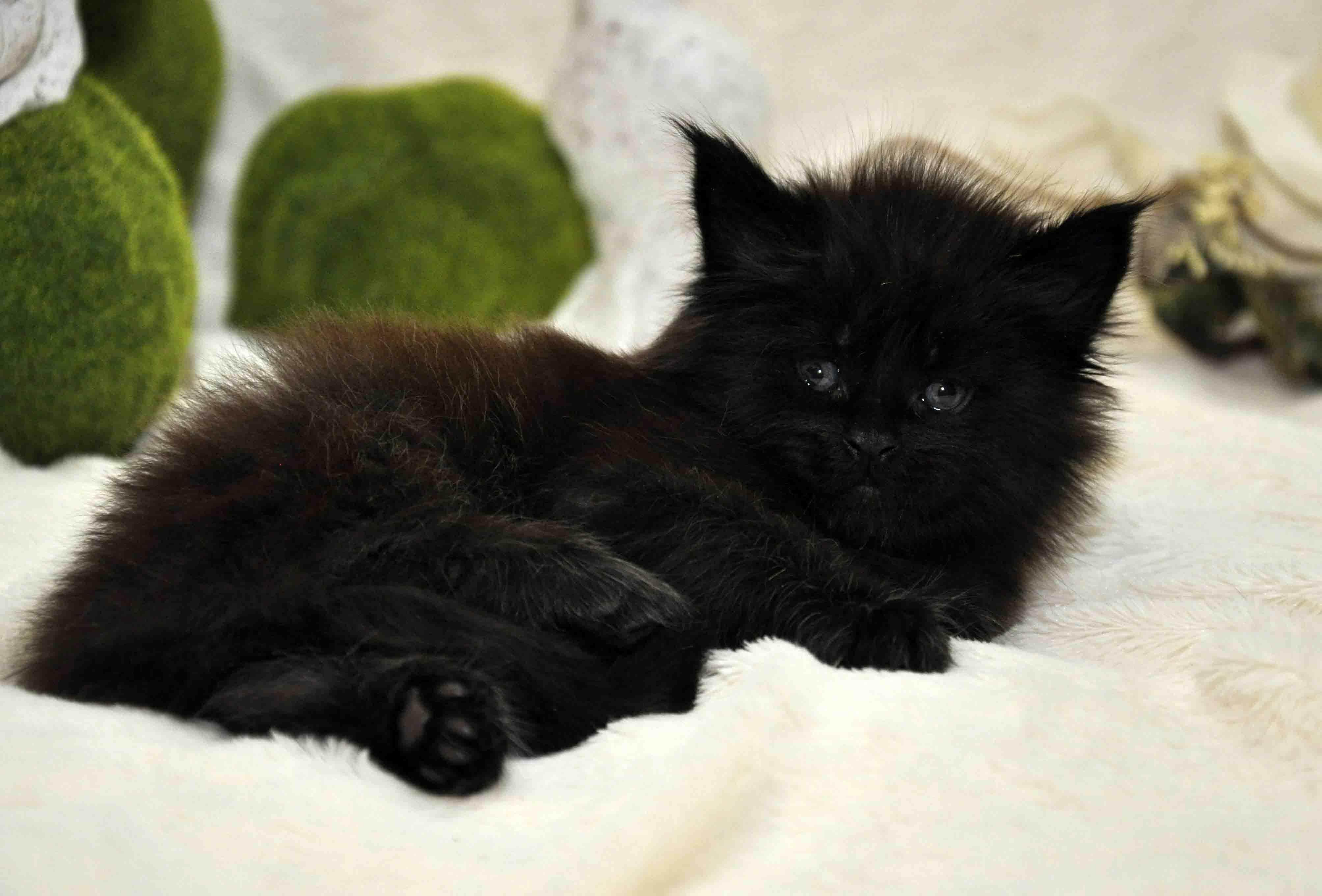 кот мейн-кун 3 фото