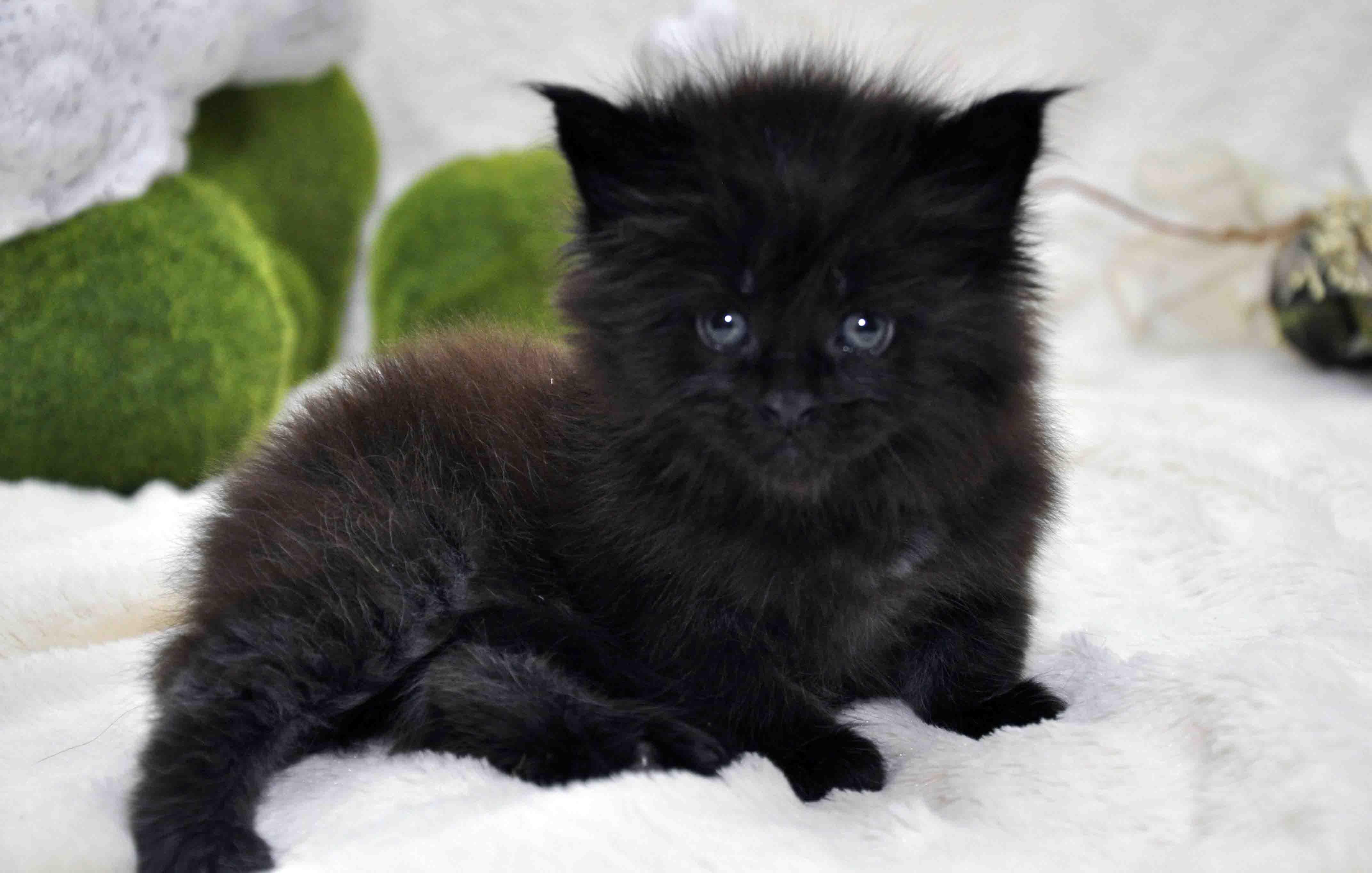 кот мейн-кун 3 фото 7