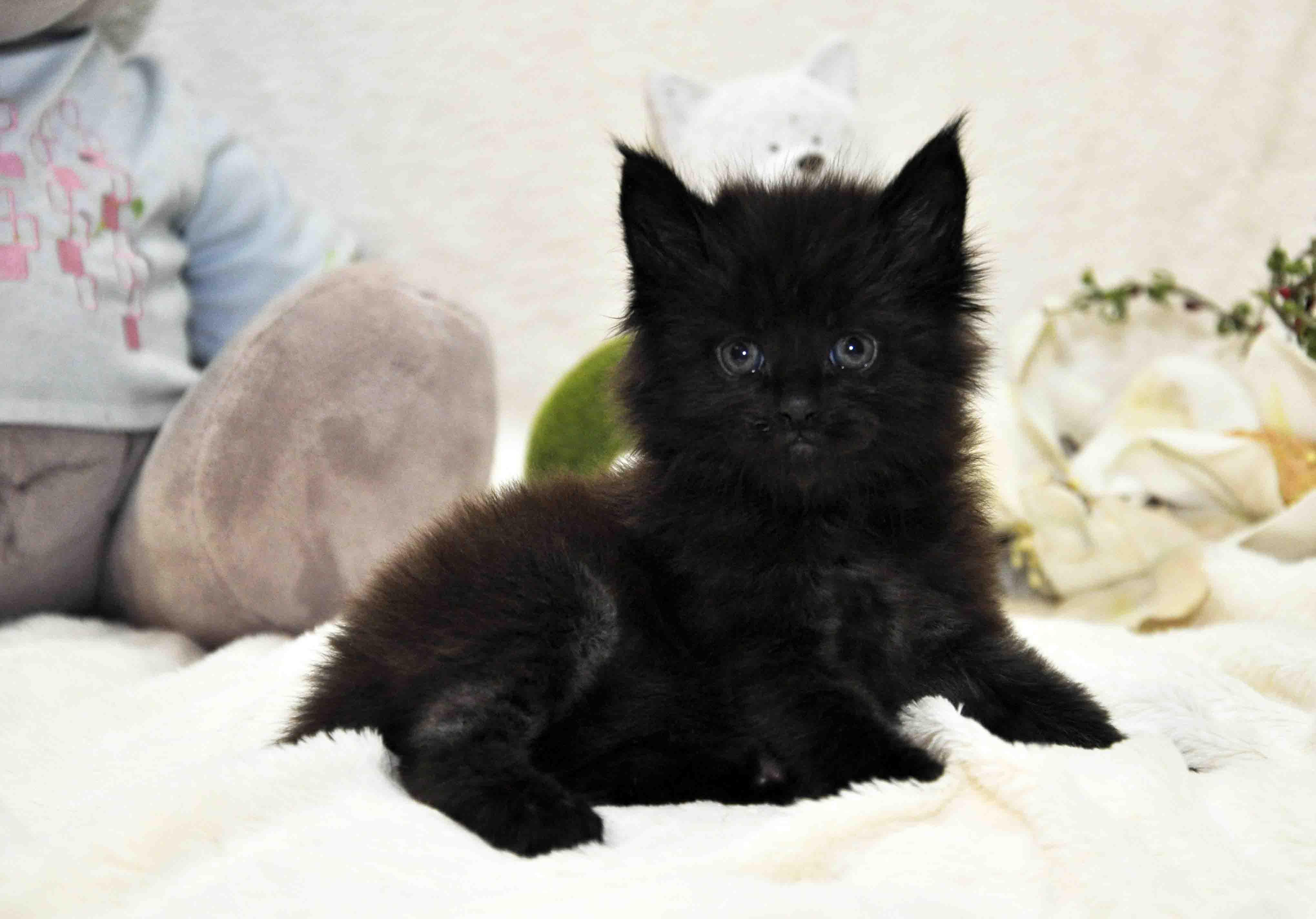 кот мейн-кун 4 фото 1