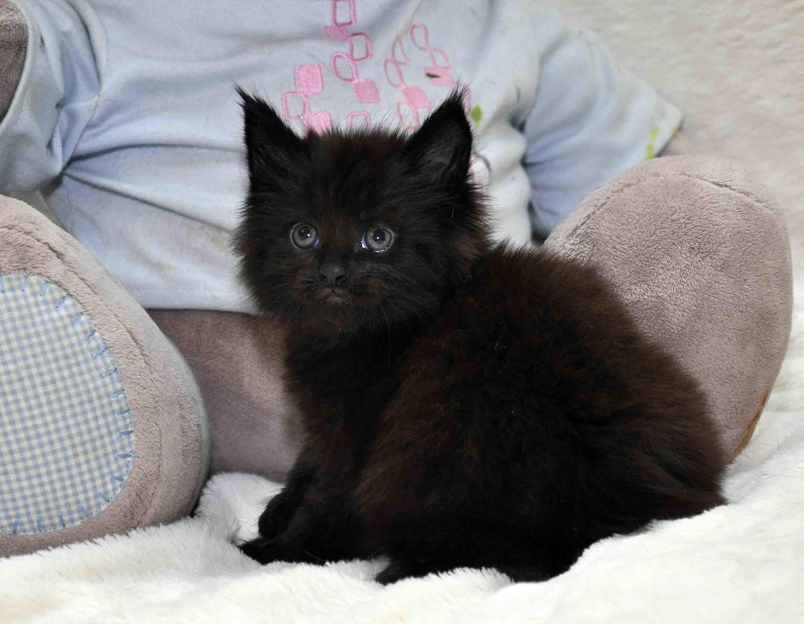 кот мейн-кун 4 фото 2