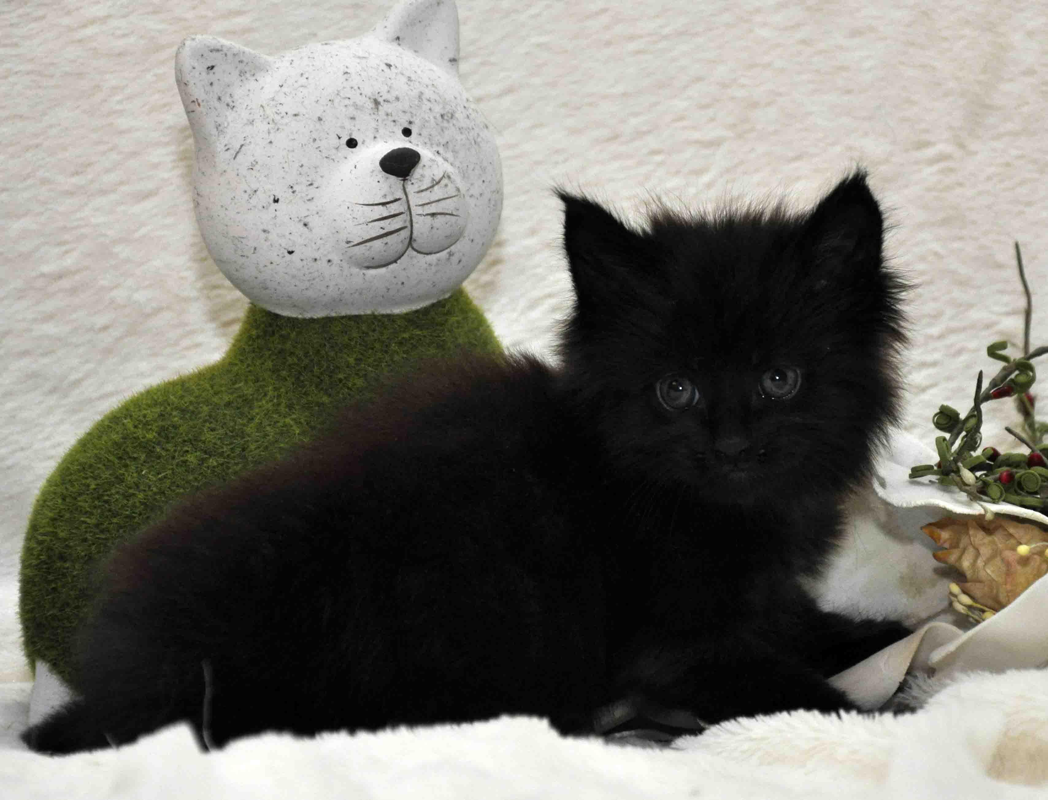 кот мейн-кун 4 фото 3
