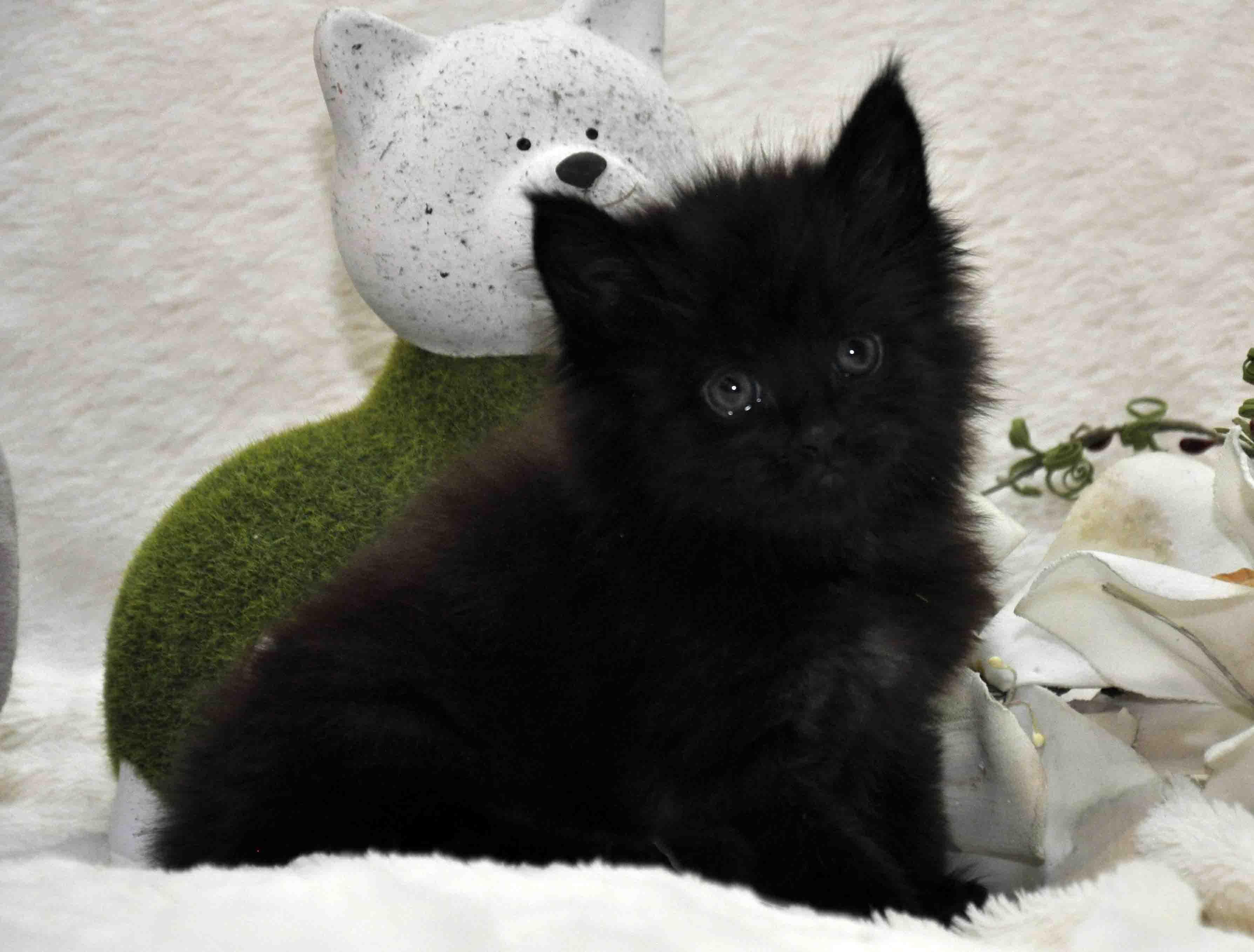 кот мейн-кун 4 фото 4