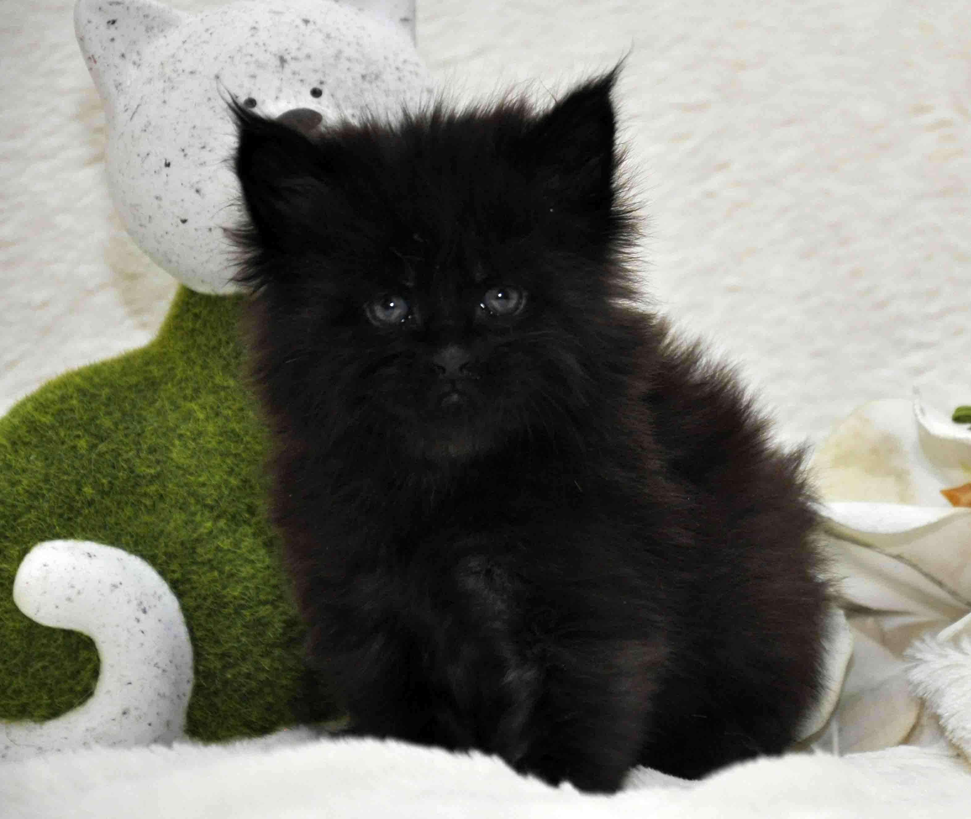 кот мейн-кун 5 фото 21