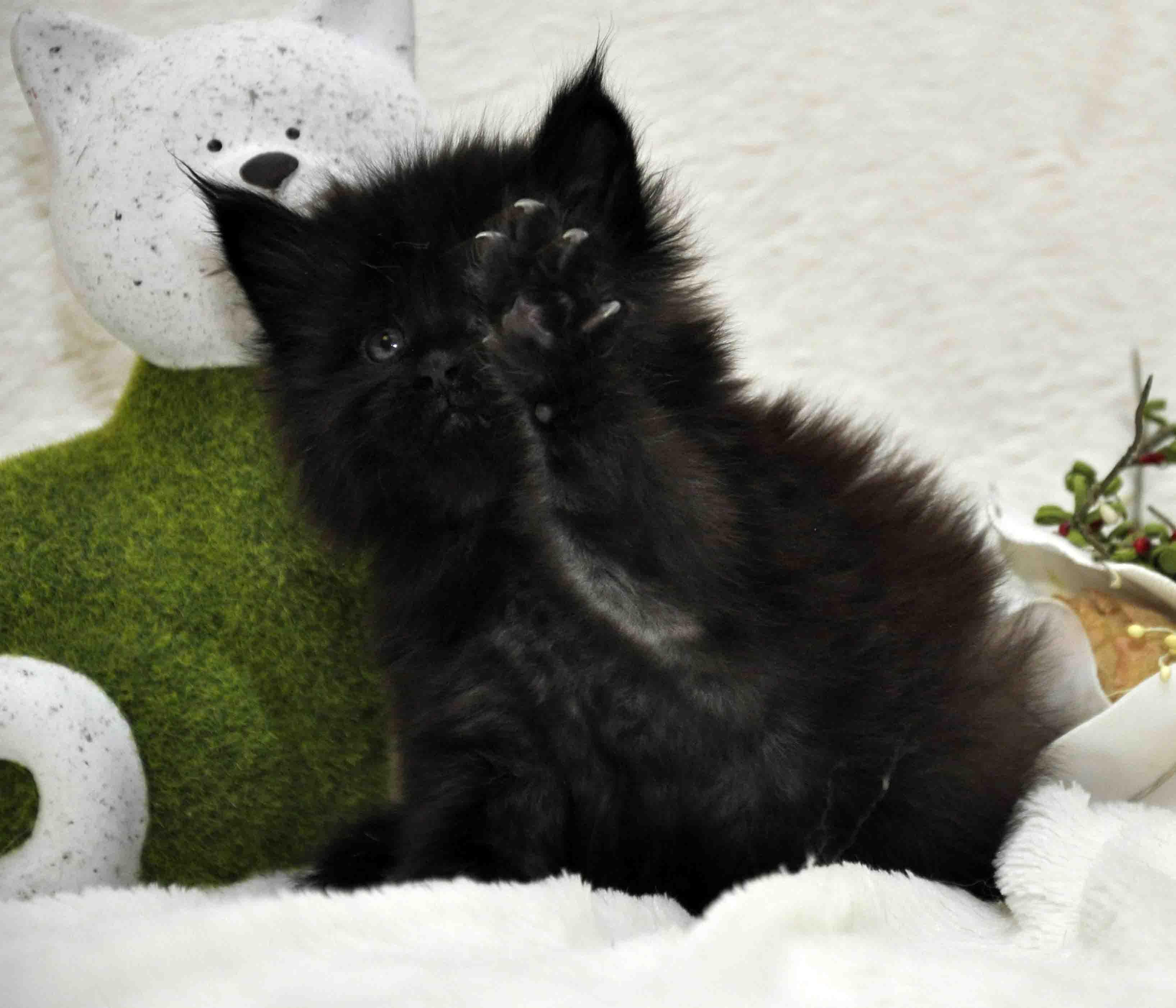 кот мейн-кун 5 фото 22
