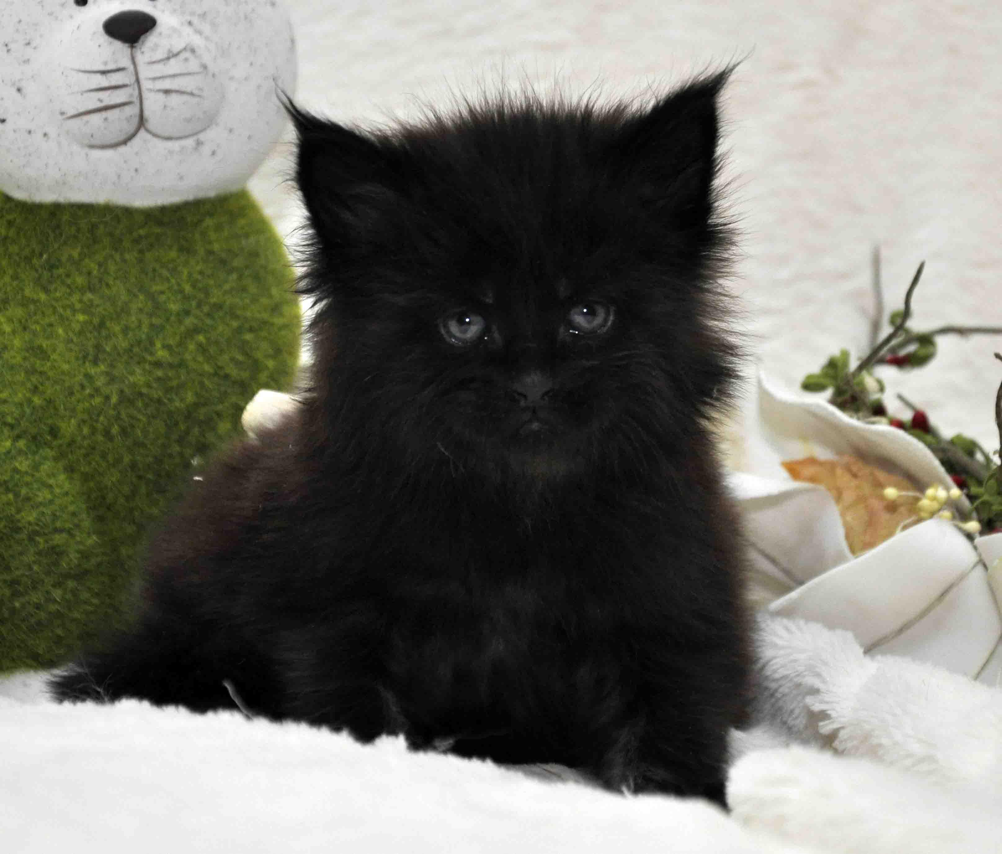 кот мейн-кун 5 фото 23