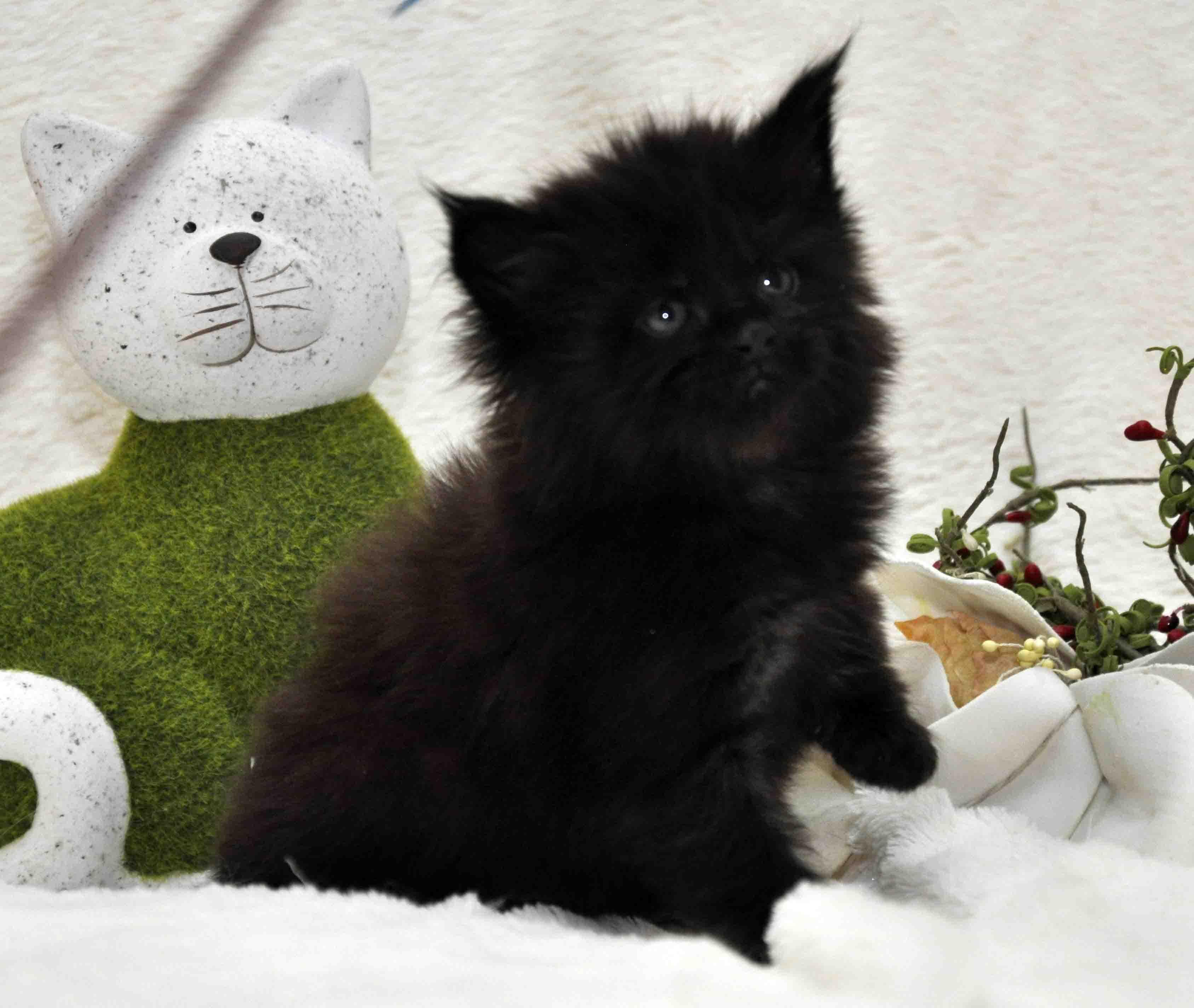 кот мейн-кун 5 фото 24