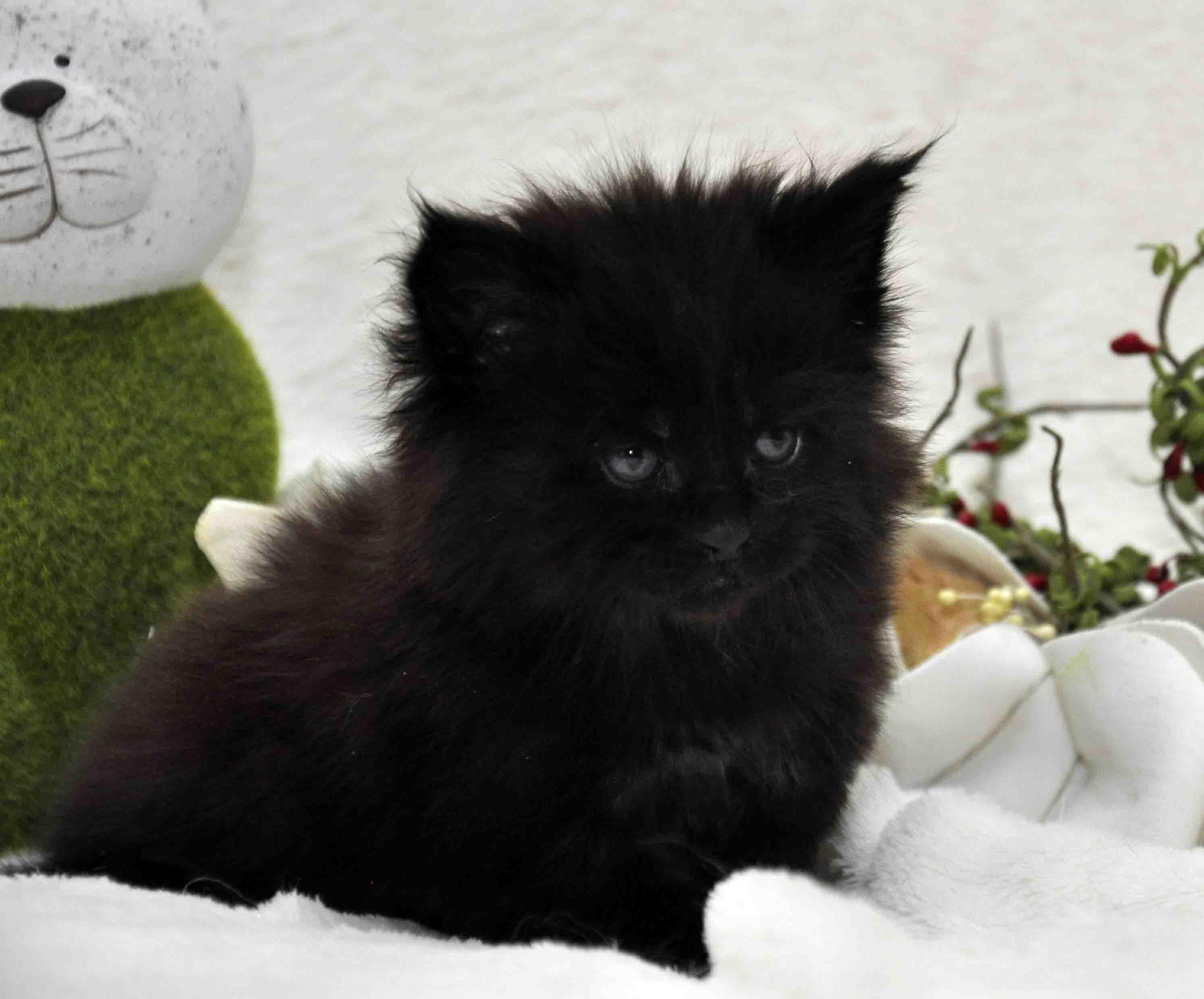 кот мейн-кун 5 фото 25