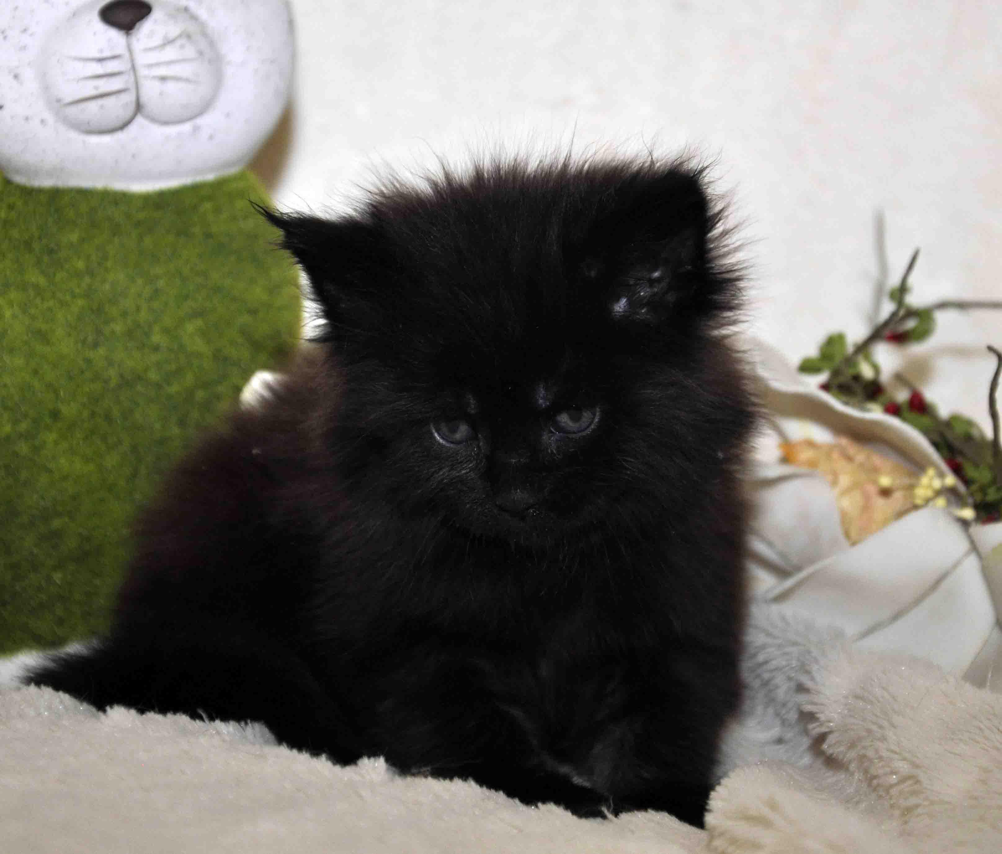 кот мейн-кун 5 фото 26