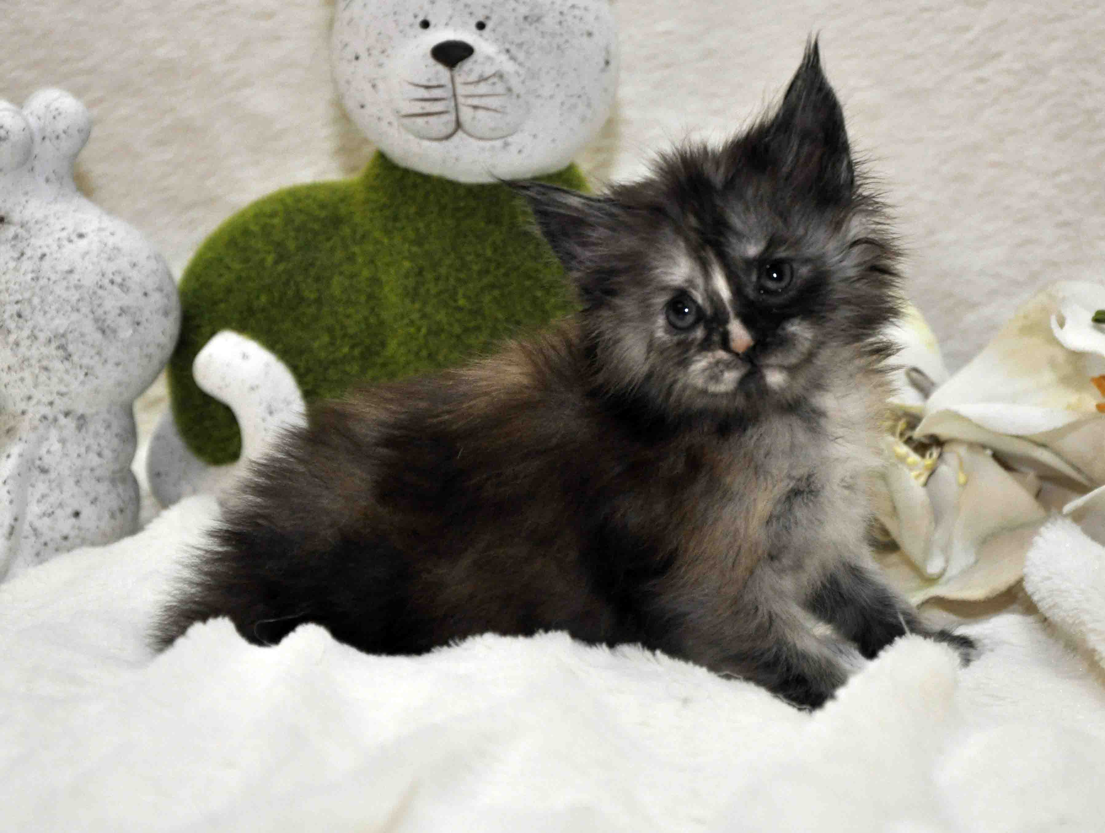 Кошечка мейн-кун фото 1