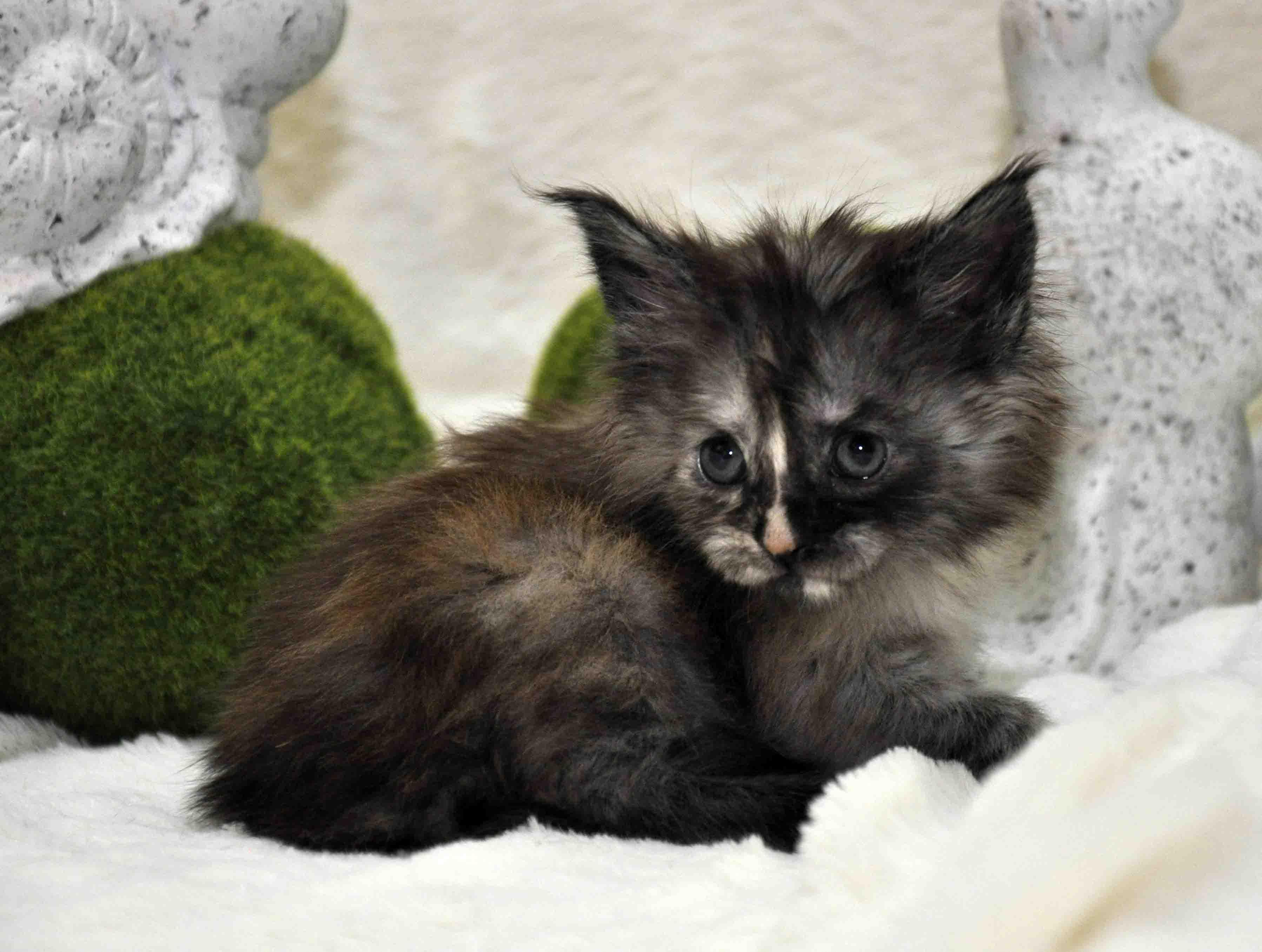 Кошечка мейн-кун фото 2