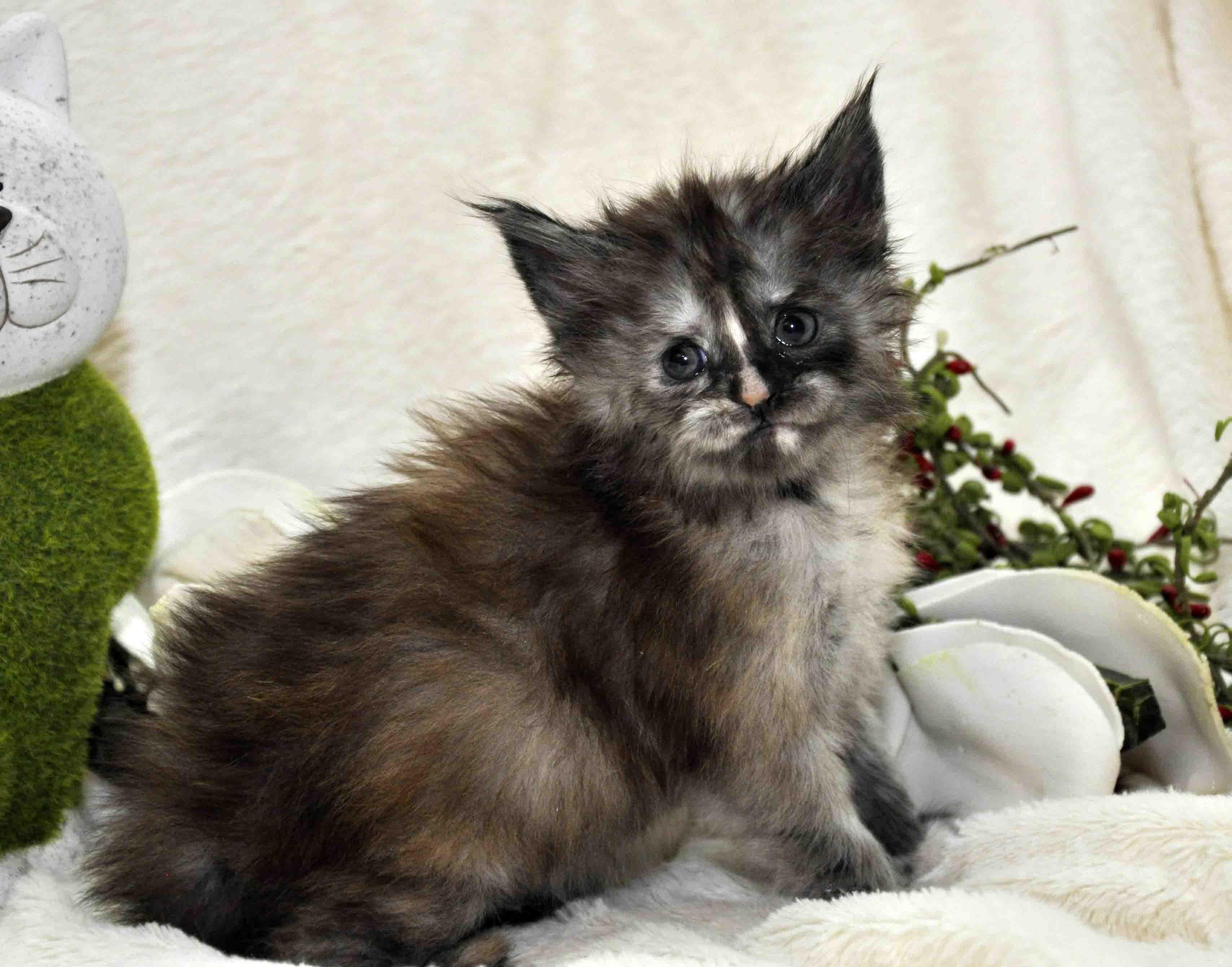 Кошечка мейн-кун фото 3