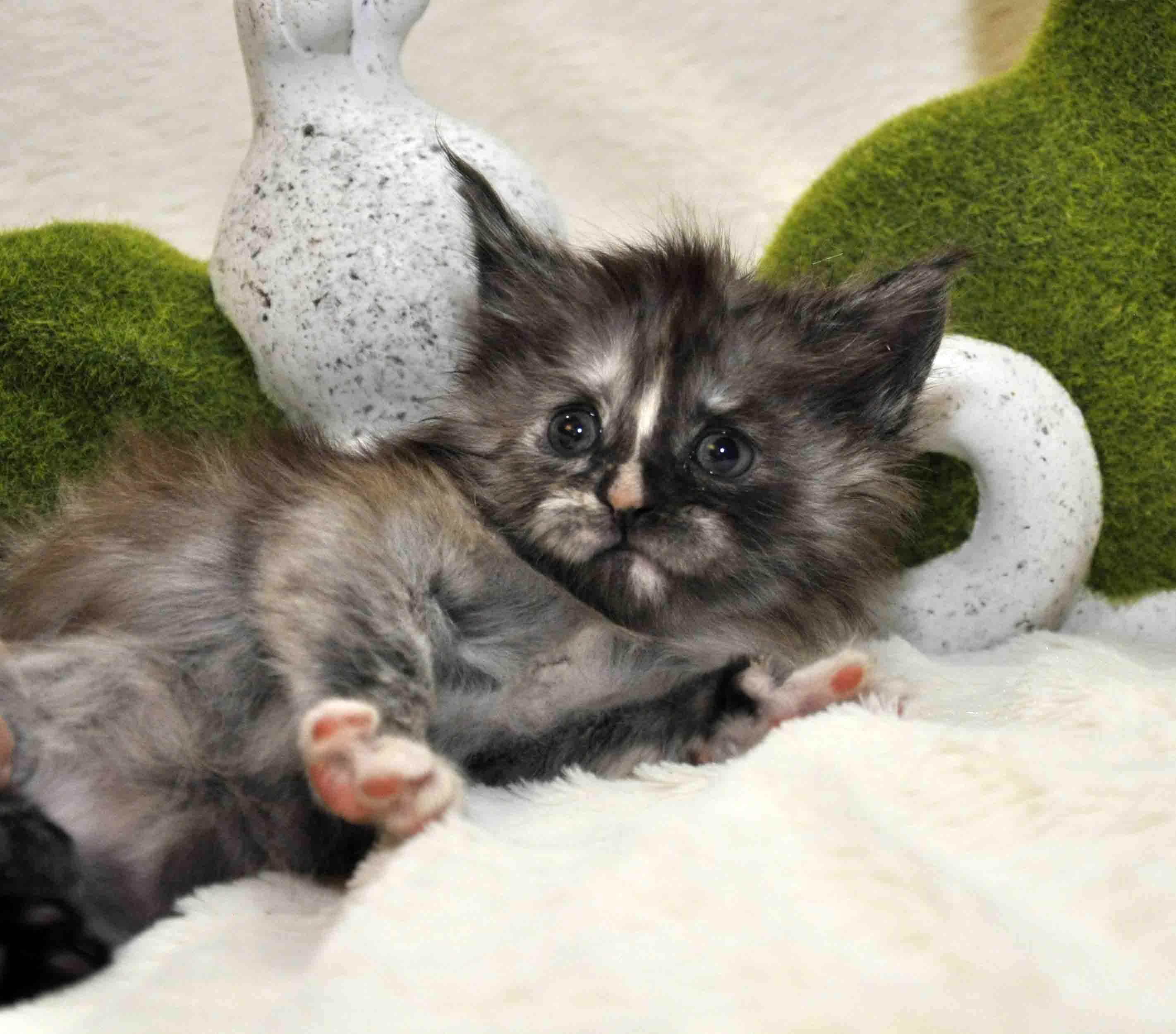 Кошечка мейн-кун фото 4