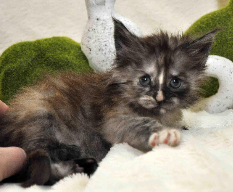 Кошечка мейн-кун фото 5