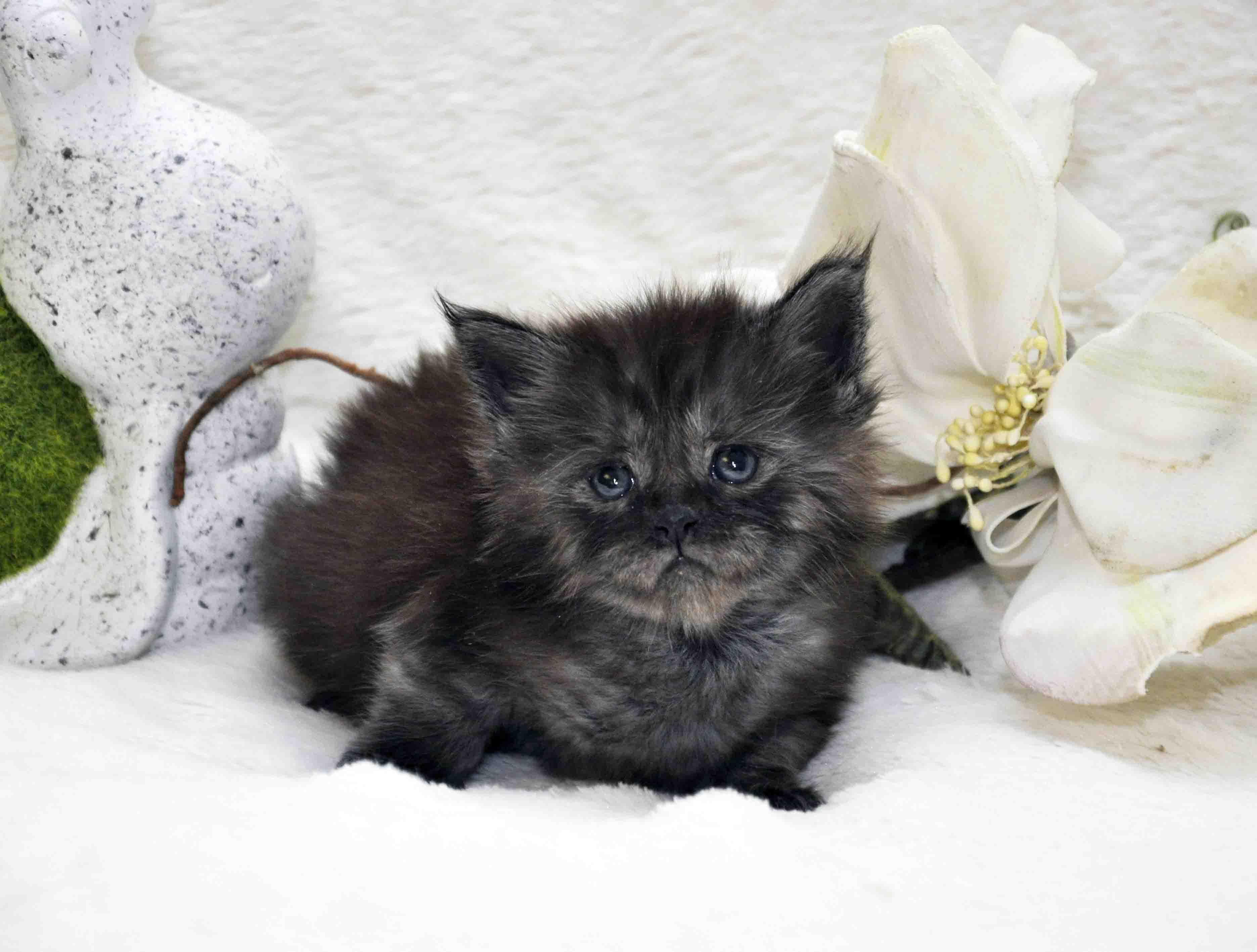 кот мейн-кун 2 фото 2