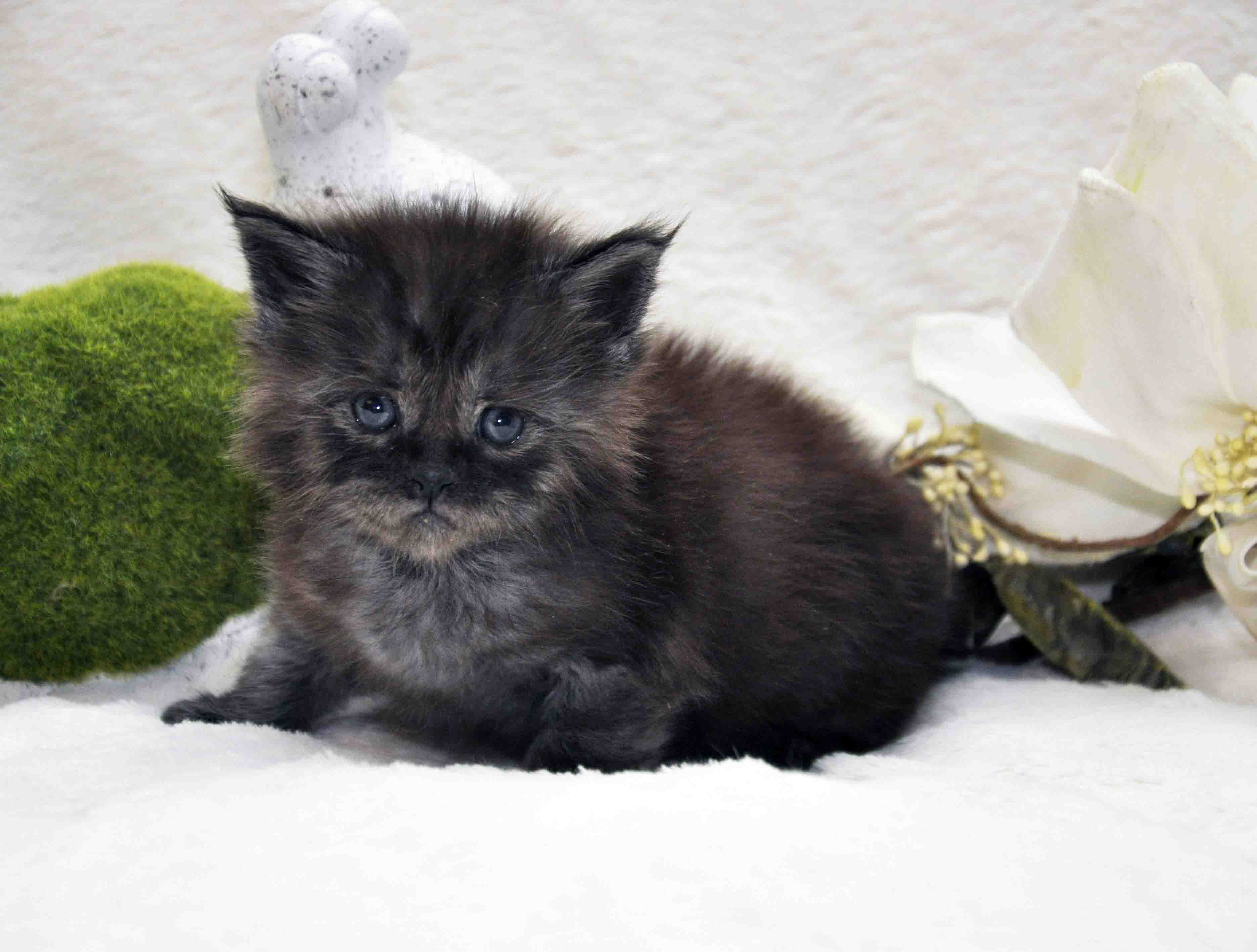 кот мейн-кун 2 фото 3