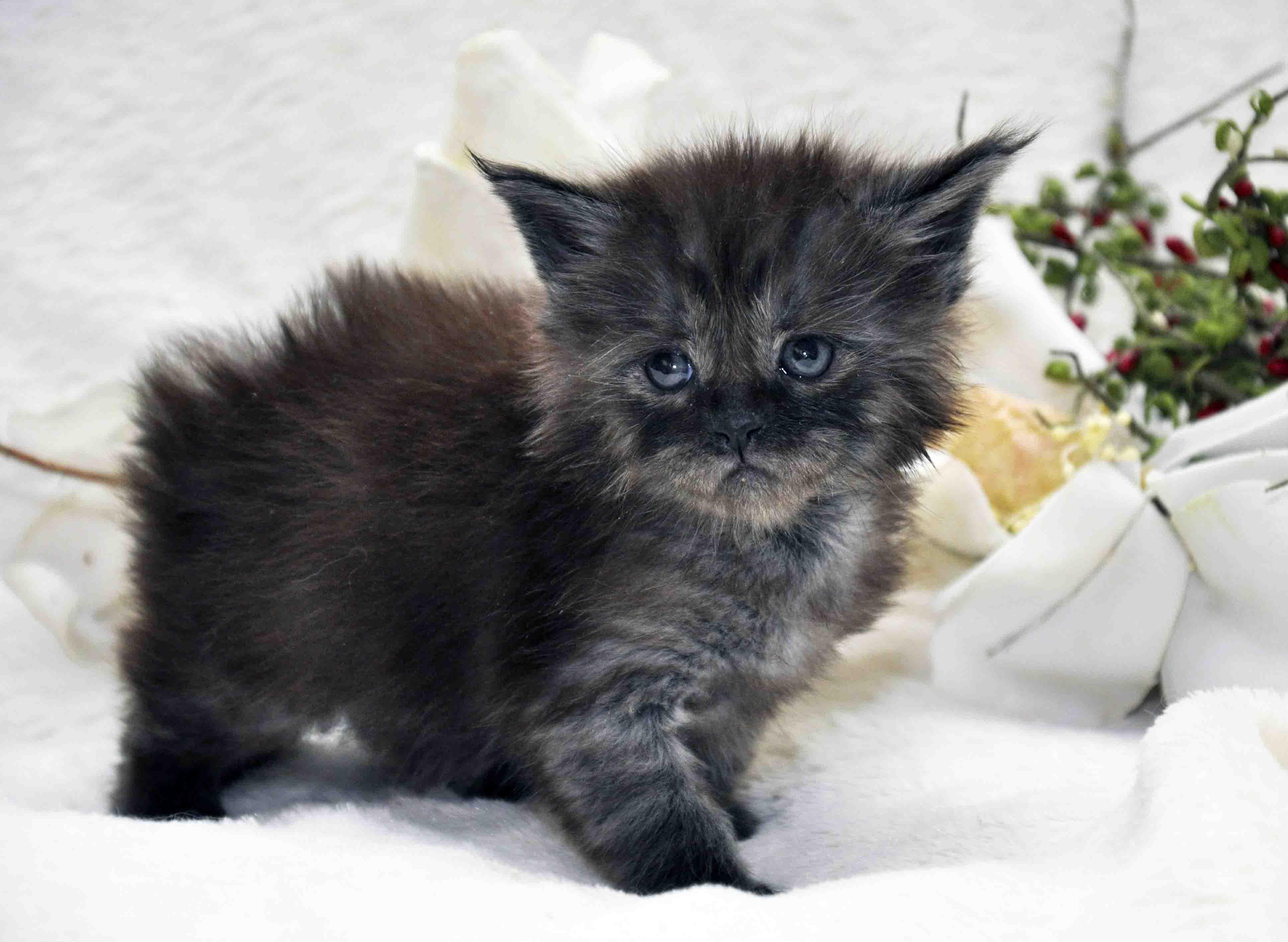 кот мейн-кун 2 фото 4