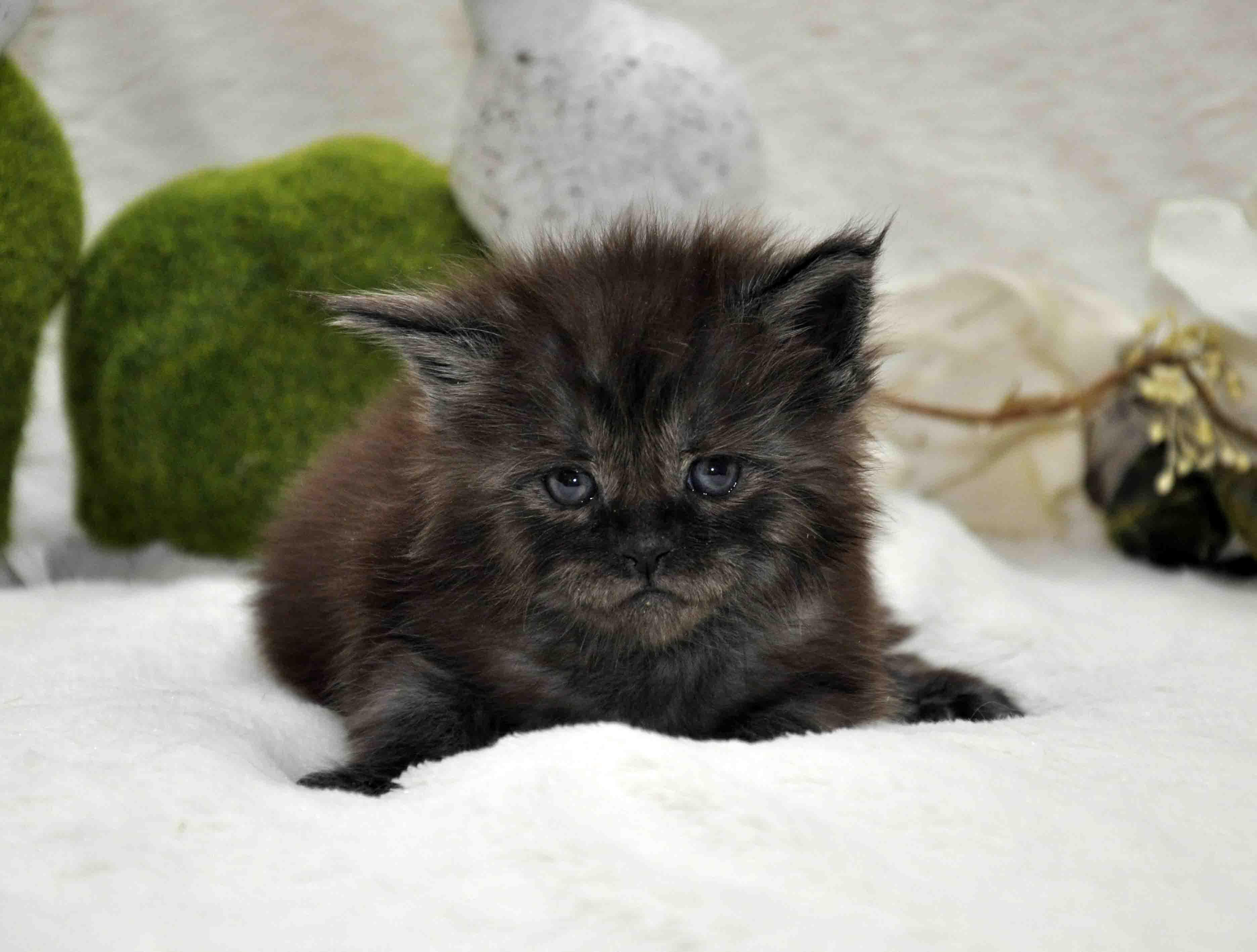 кот мейн-кун 2 фото 5