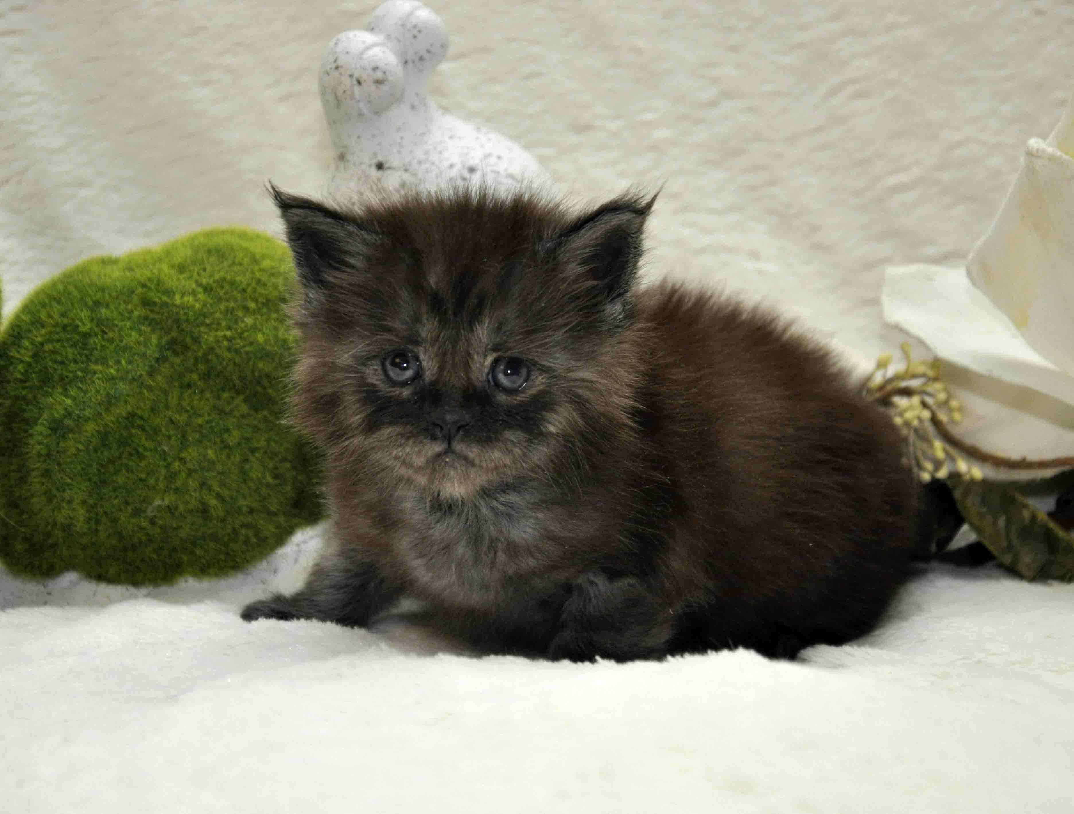 кот мейн-кун 2 фото 6
