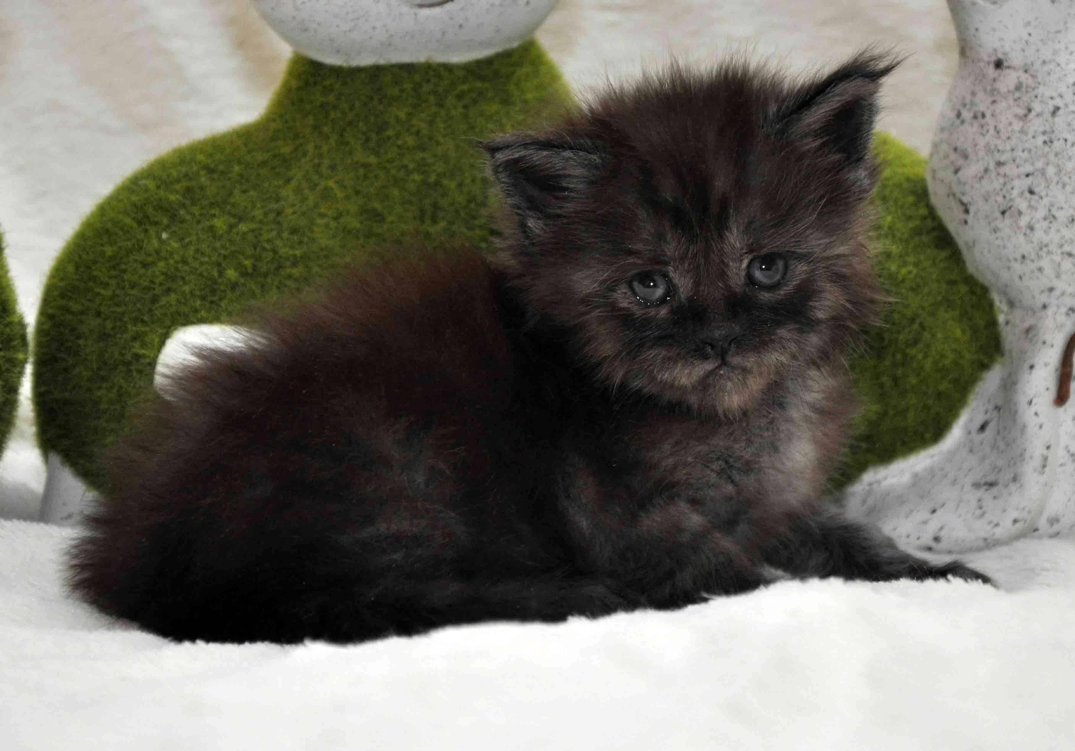 кот мейн-кун 2 фото