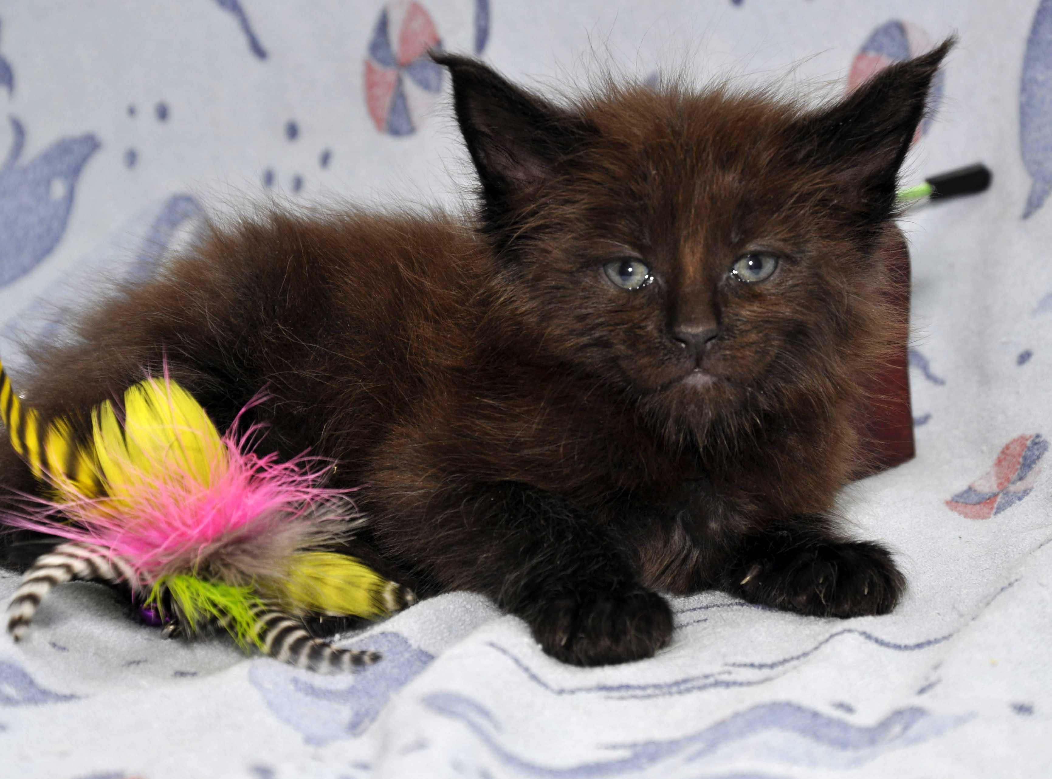 Кот Мейн Кун 2 (male) Eyktan QUANTUM фото 1